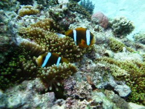 GBR anemone fish