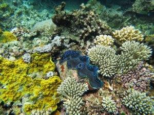 GBR clam