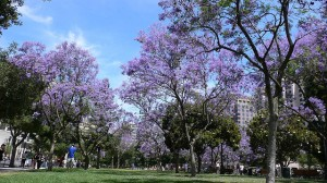 Spring is a wonderful time to walk around the Jacaranda trees in blossom.