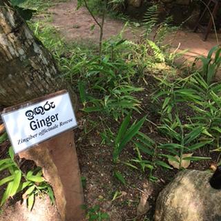 Sri Lanka AHG ginger