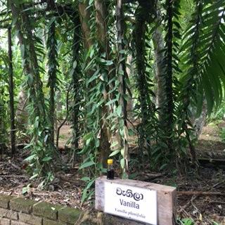 Sri Lanka AHG vanilla
