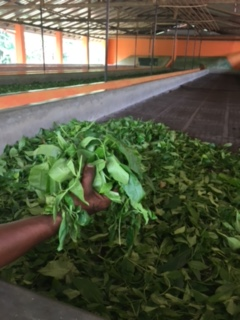 Sri Lanka Tea factory 1 drying