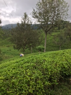 Sri Lanka train tea 6
