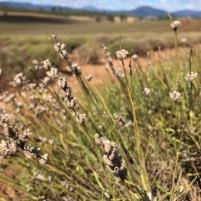 Tasmania lavender close up